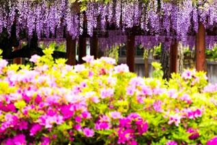 さつきや藤の花盛りです。