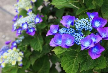 6月あじさいの花です。