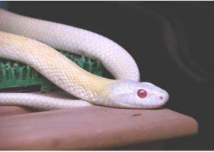 白蛇です。